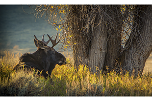 Moose lying under tree in Grand Teton National Park