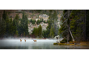 Elk crossing lake in the fog at Grand Teton National Park